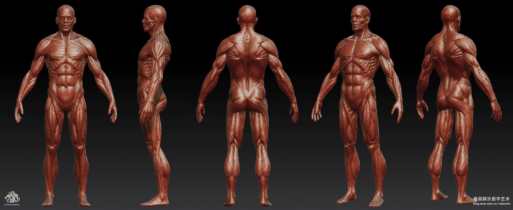 人体祼体_人体肌肉模型
