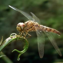 雨后3—蜻蜓