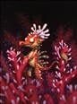 Red Sea Dragon